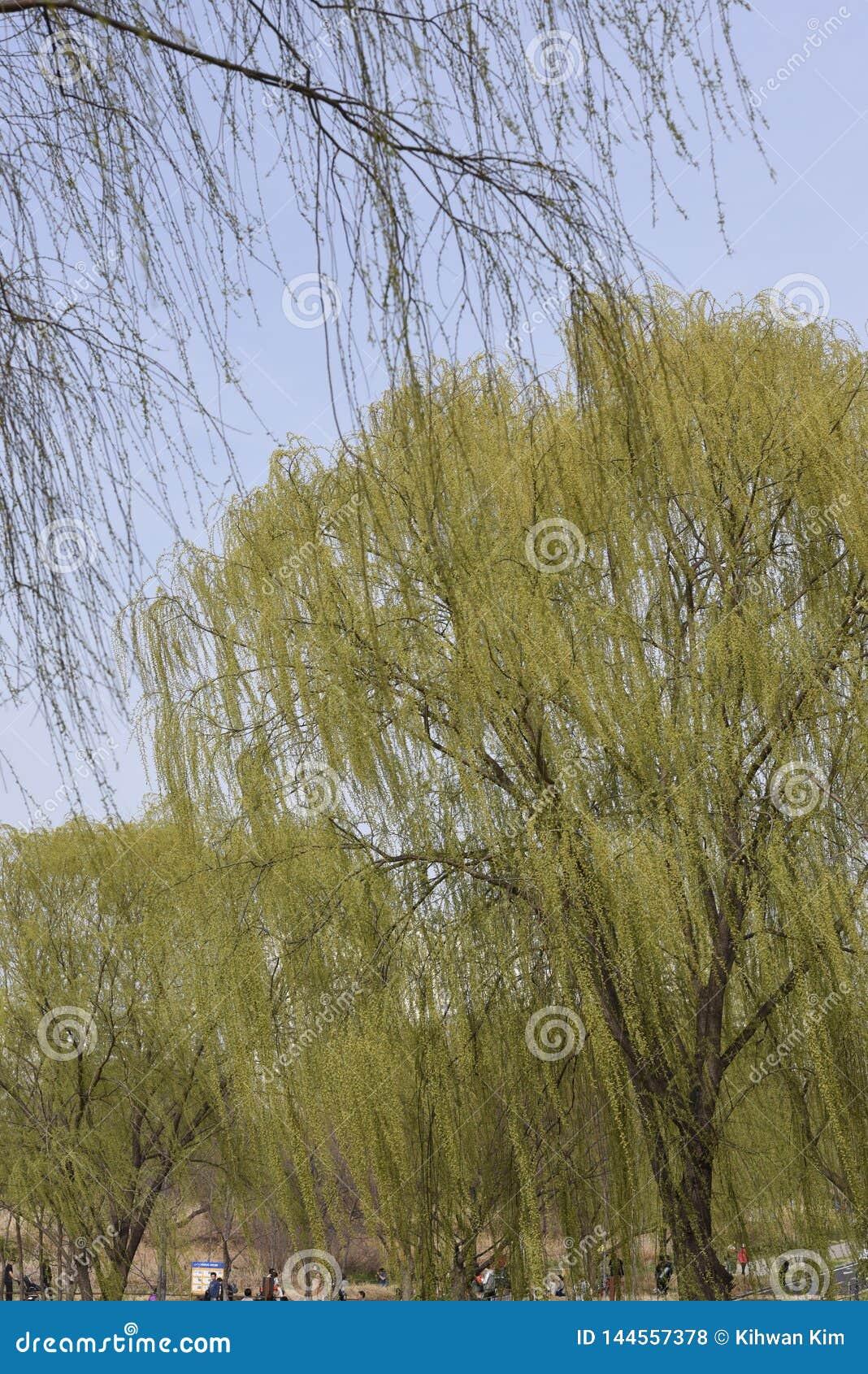 Ветви дерева вербы пуская ростии листья и цветки