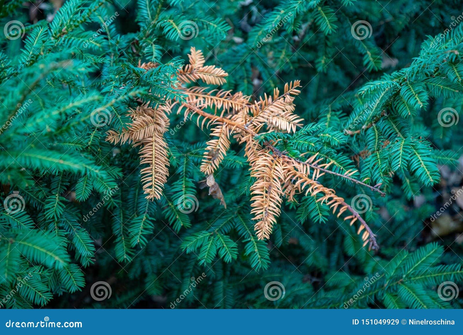 Ветви дерева хвои и одиночная сухая хворостина
