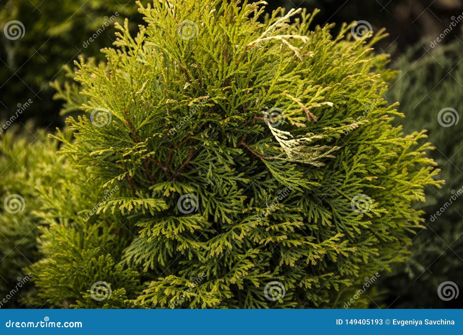 Ветви зеленого Tui загорены солнечным светом