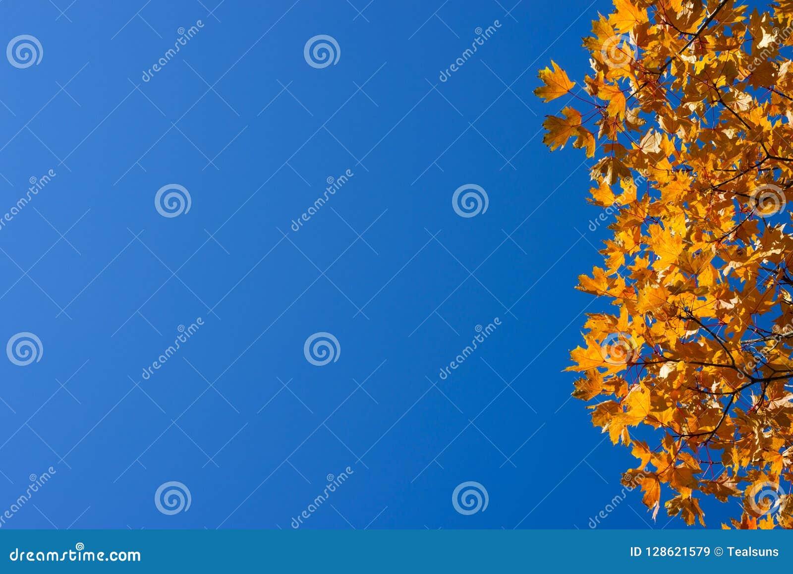 Ветви клена с оранжевыми листьями backhander
