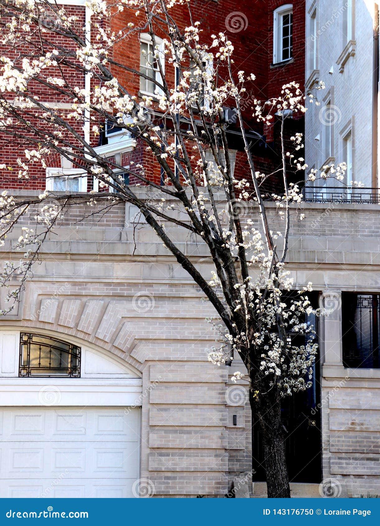 Ветви пуская ростии вне имеют белые цветения