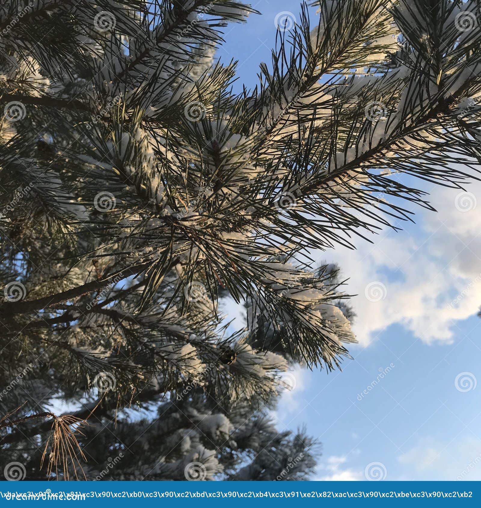 Ветви рождественской елки на небе