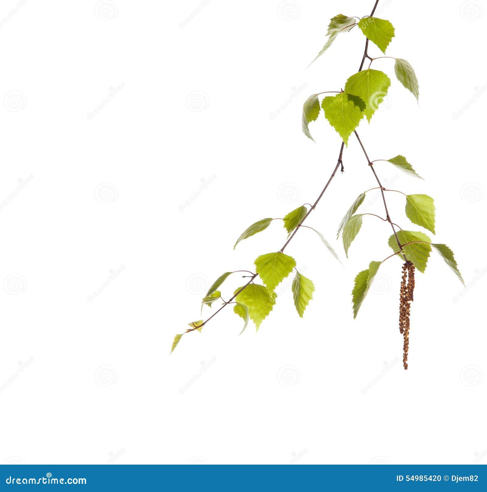 Ветвь березы