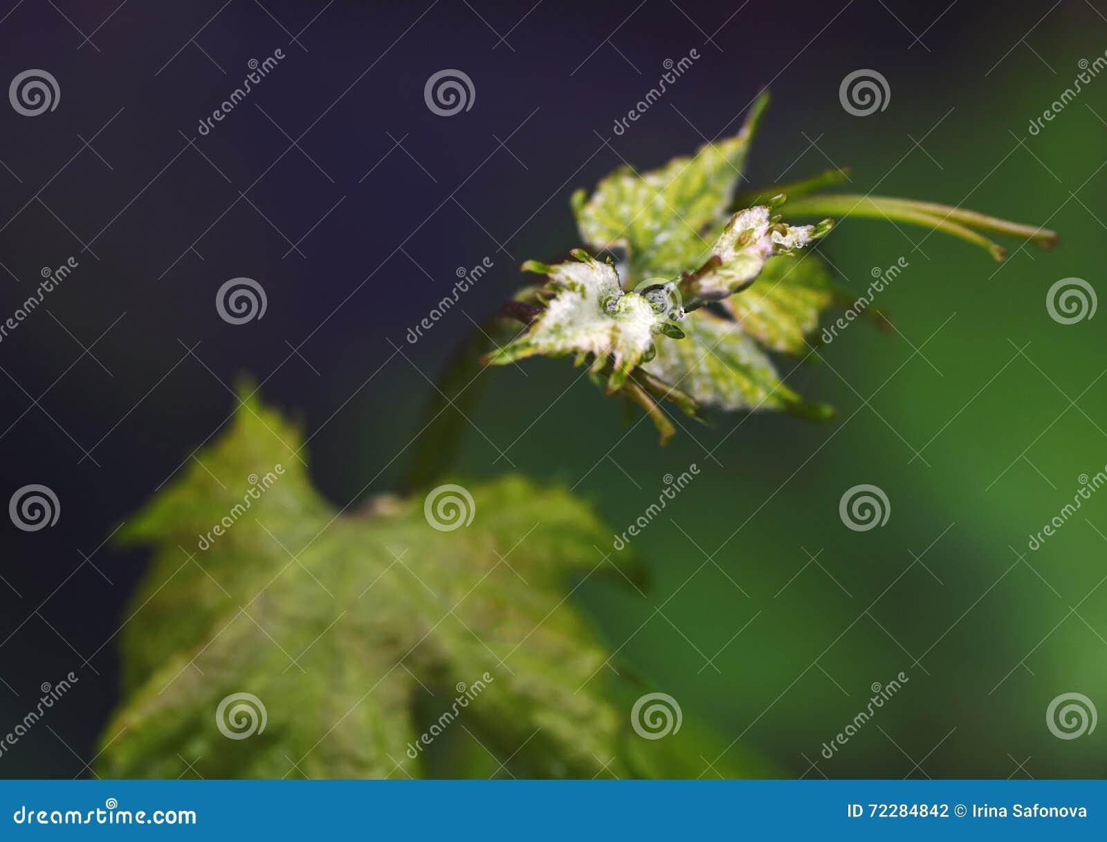 Download Ветвь виноградины с молодыми листьями Стоковое Фото - изображение насчитывающей sunlight, brampton: 72284842