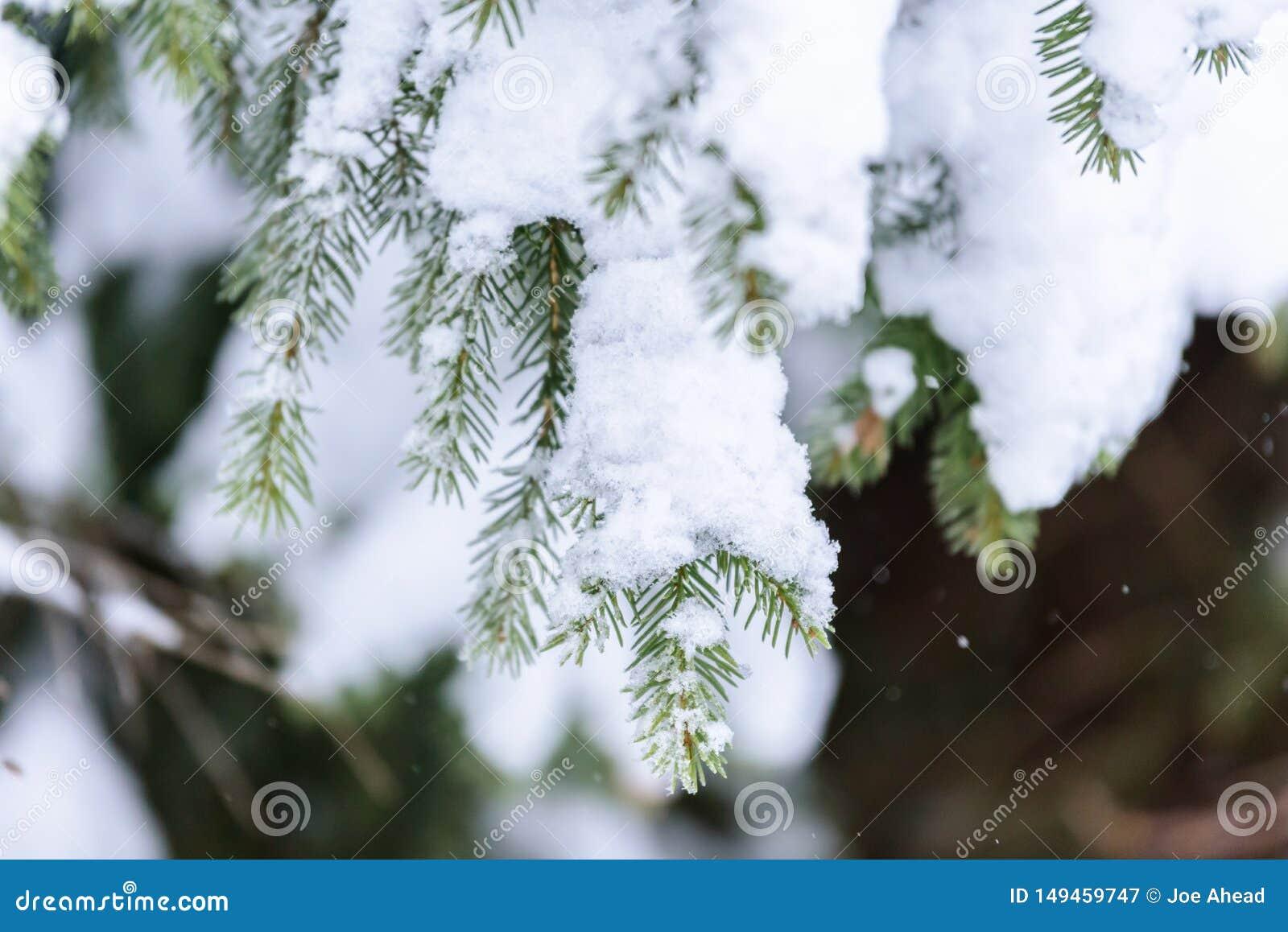 Ветвь дерева покрывала с сильным снегопадом в сезоне зимы на Лапландии, Финляндии