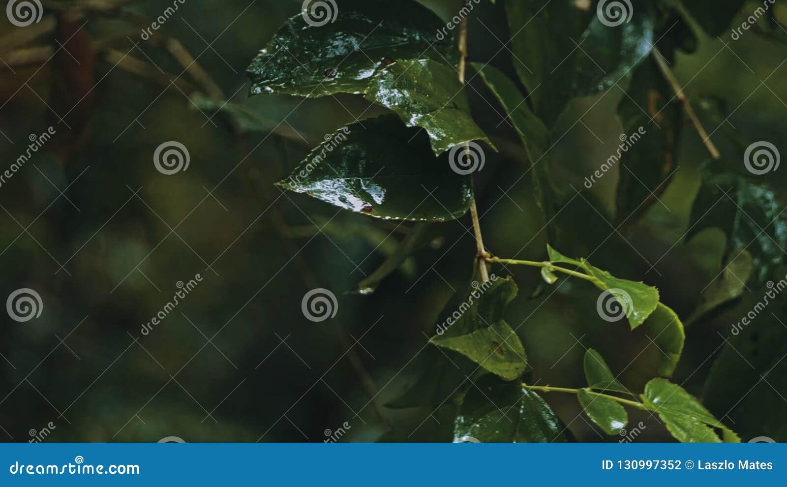 ветвь дерева с листьями во время тяжелого лить тропического дождя на джунглях тропического леса
