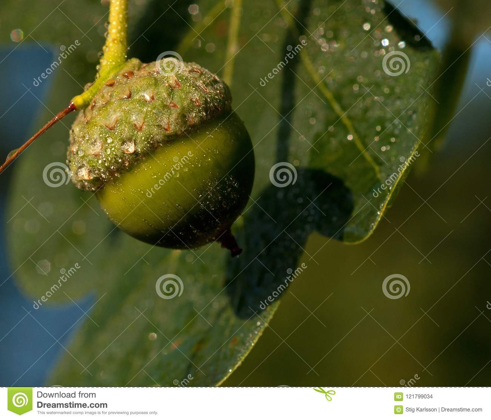 Ветвь дуба жолудей