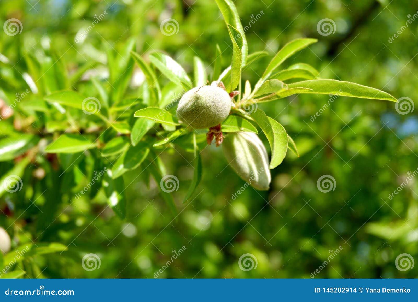 Ветвь миндалины с 2 молодыми неоткрытыми плодами