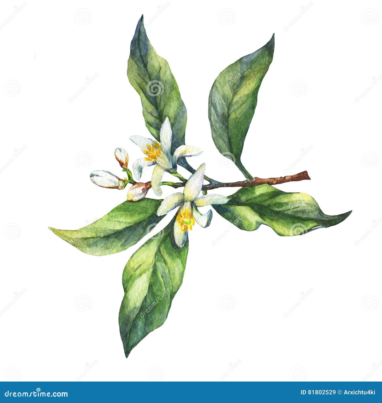 Ветвь свежего лимона цитрусовых фруктов с листьями и цветками зеленого цвета