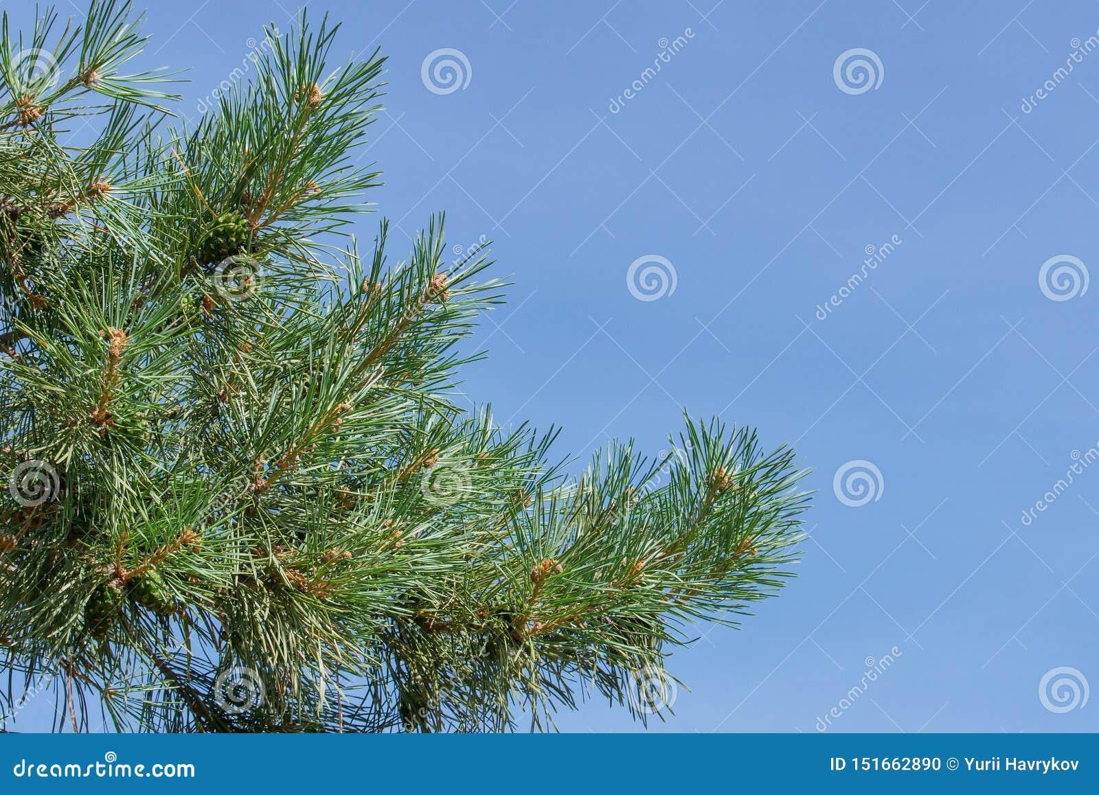 Ветвь сосны с зелеными конусами против голубого неба в парке