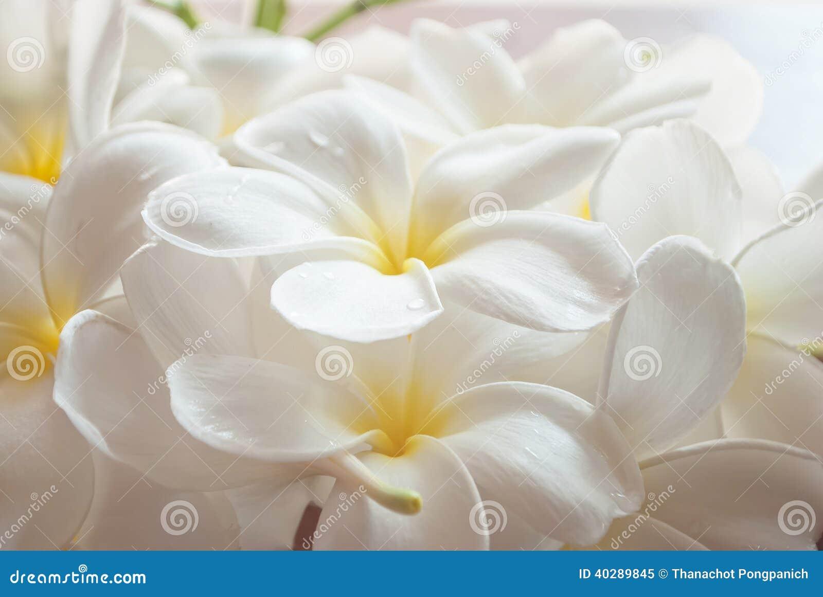 Ветвь тропического frangipani цветков (plumeria),