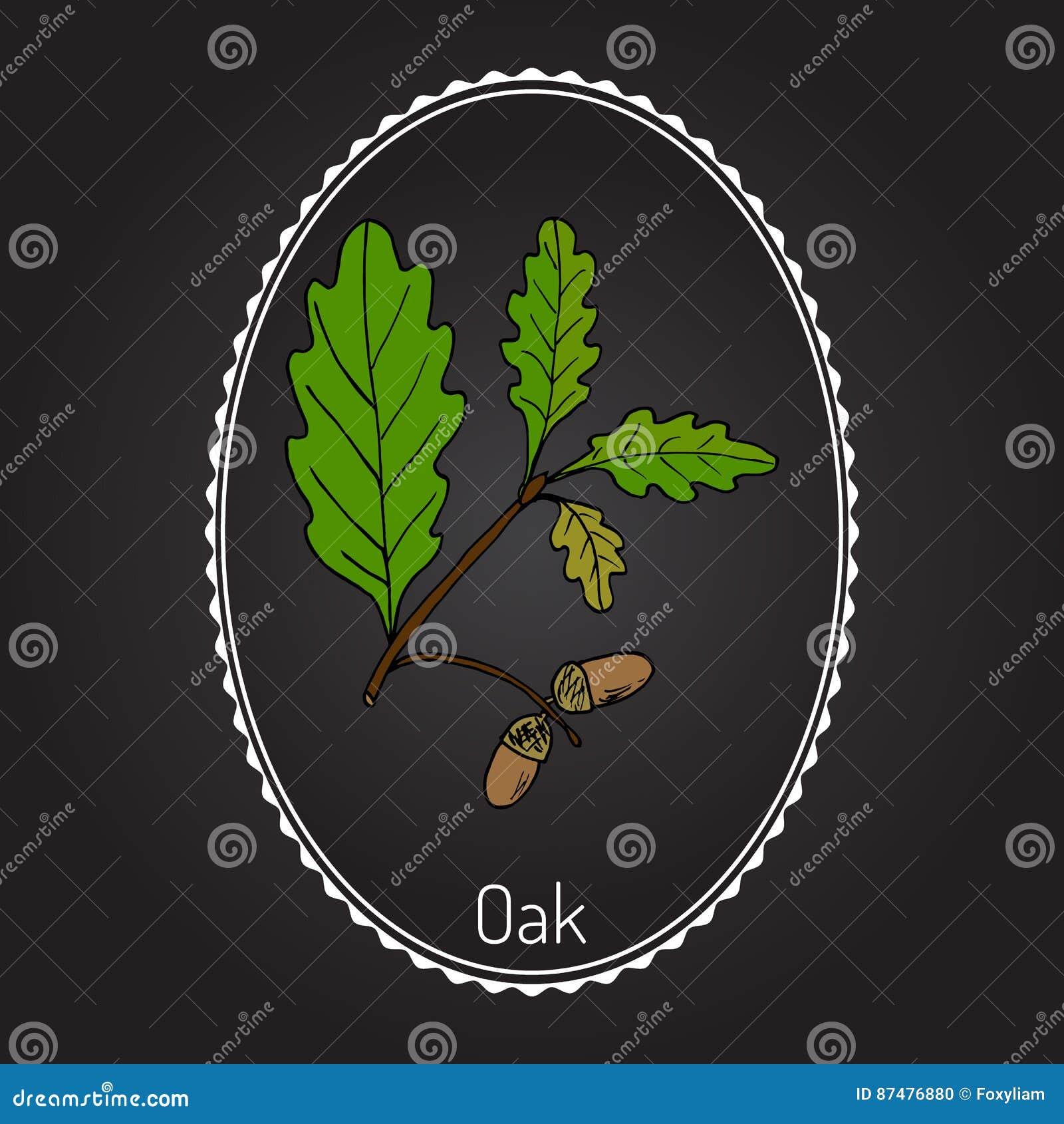 Ветвь дуба с листьями и жолудями зеленого цвета