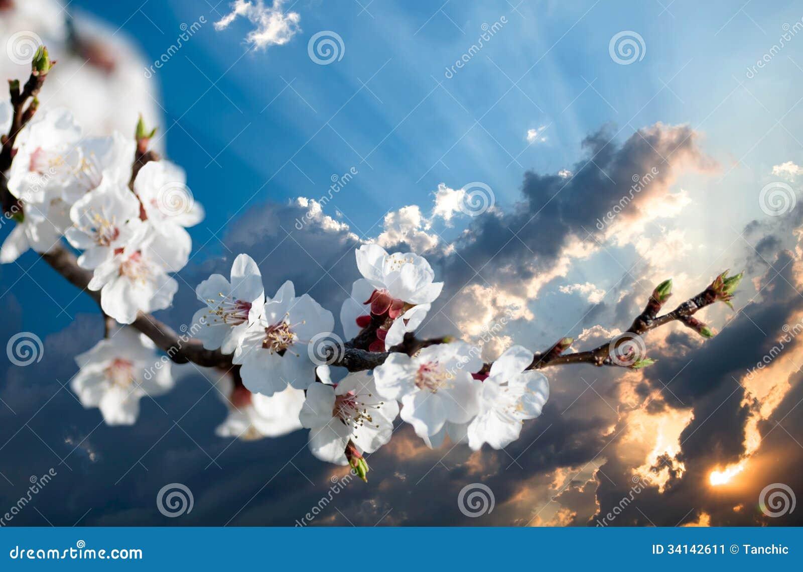 Ветвь цветков вишни на заходе солнца