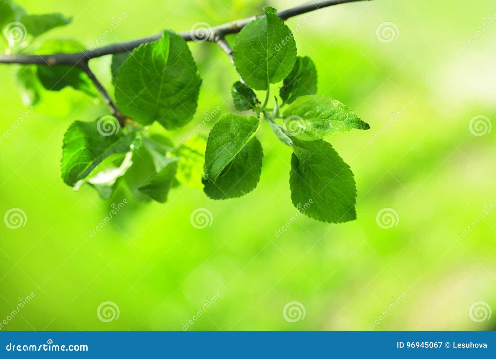 ветвь яблони