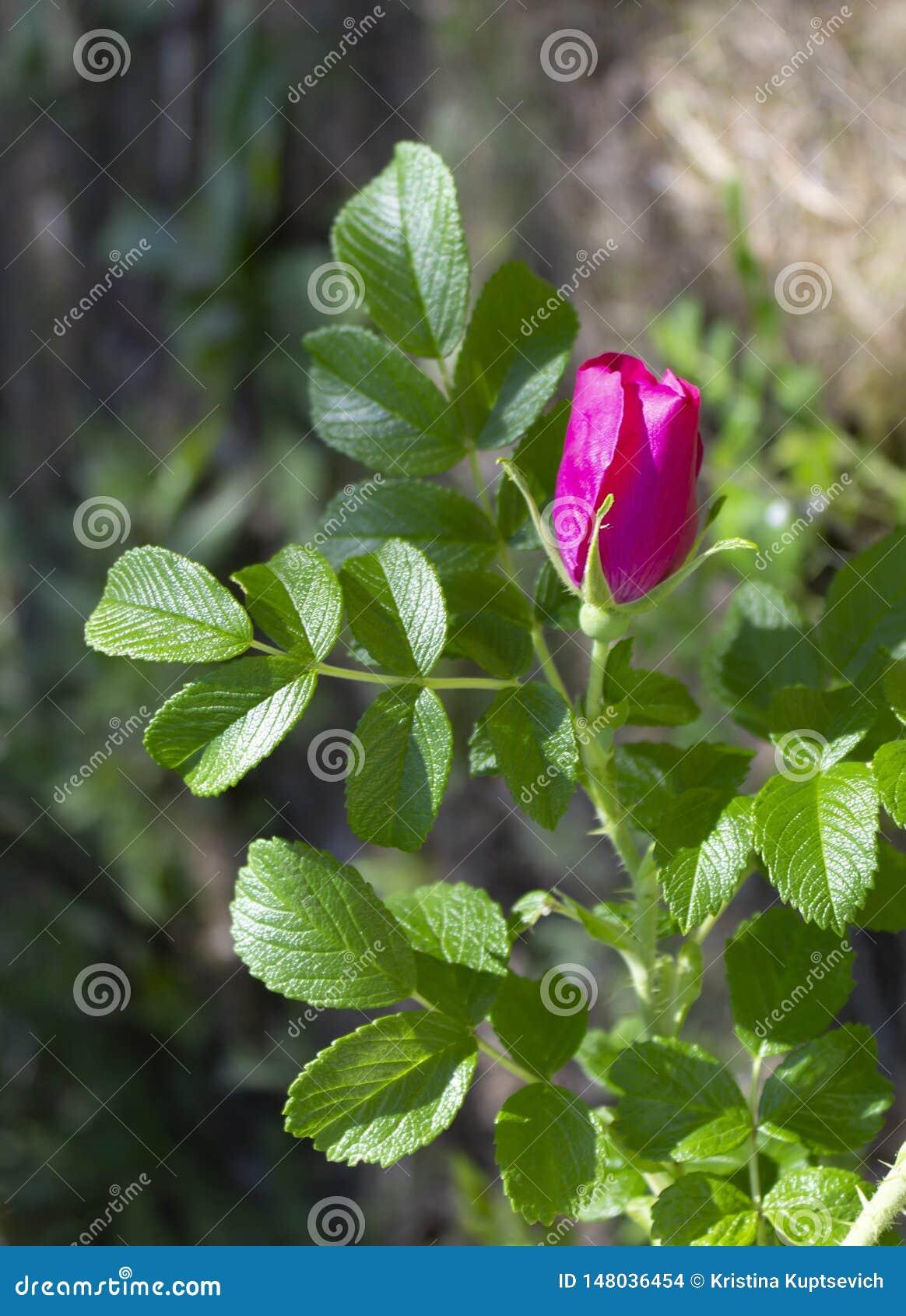 Ветвь briar с розовыми цветком и листьями на запачканной предпосылке