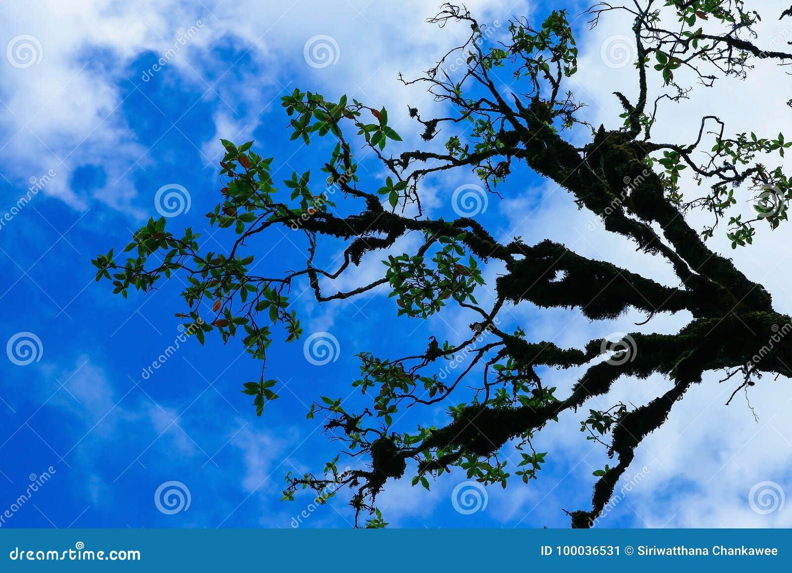 Ветвь coverd дерева с мхом с голубым небом