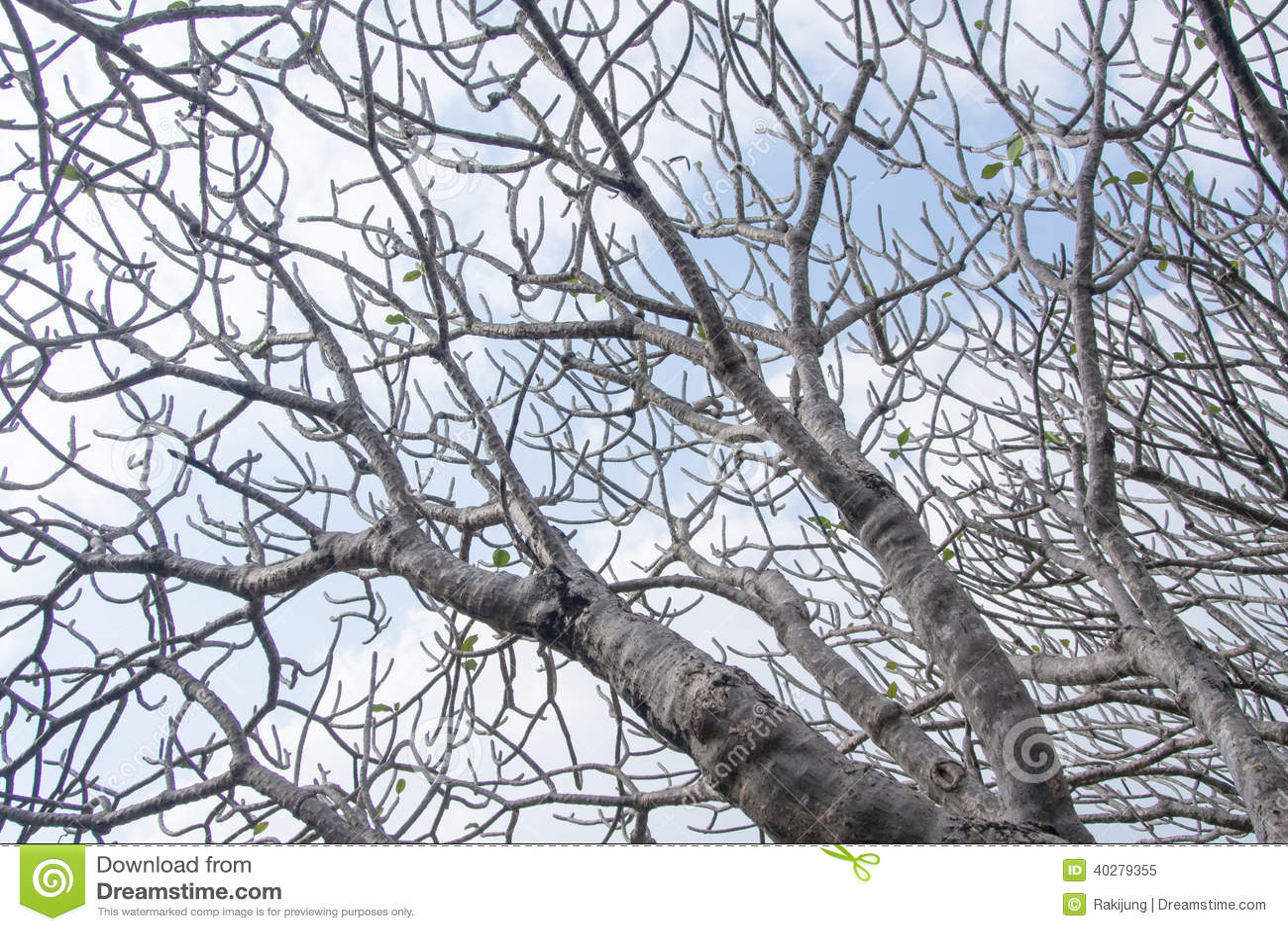 Ветвь plumeria Frangipani