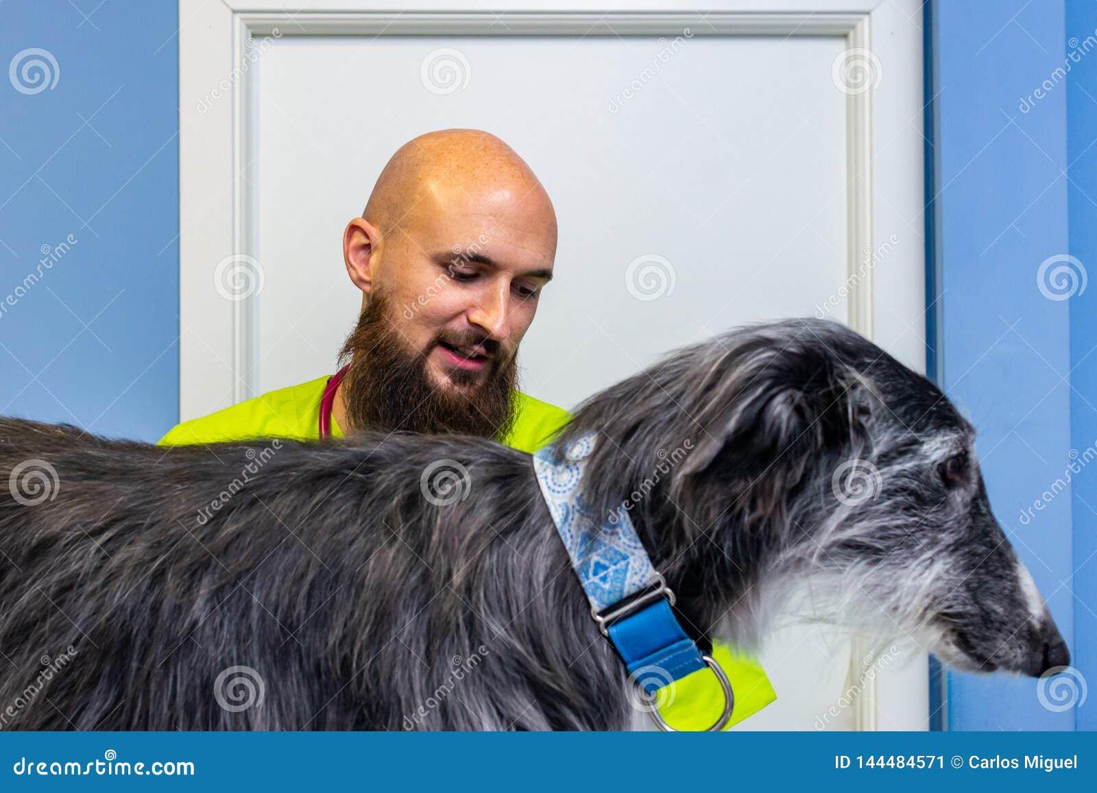 Ветеринарная консультация, ветеринар проверяя борзую