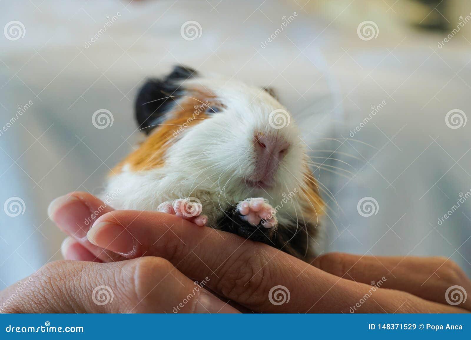 Ветеринар держа морскую свинку младенца