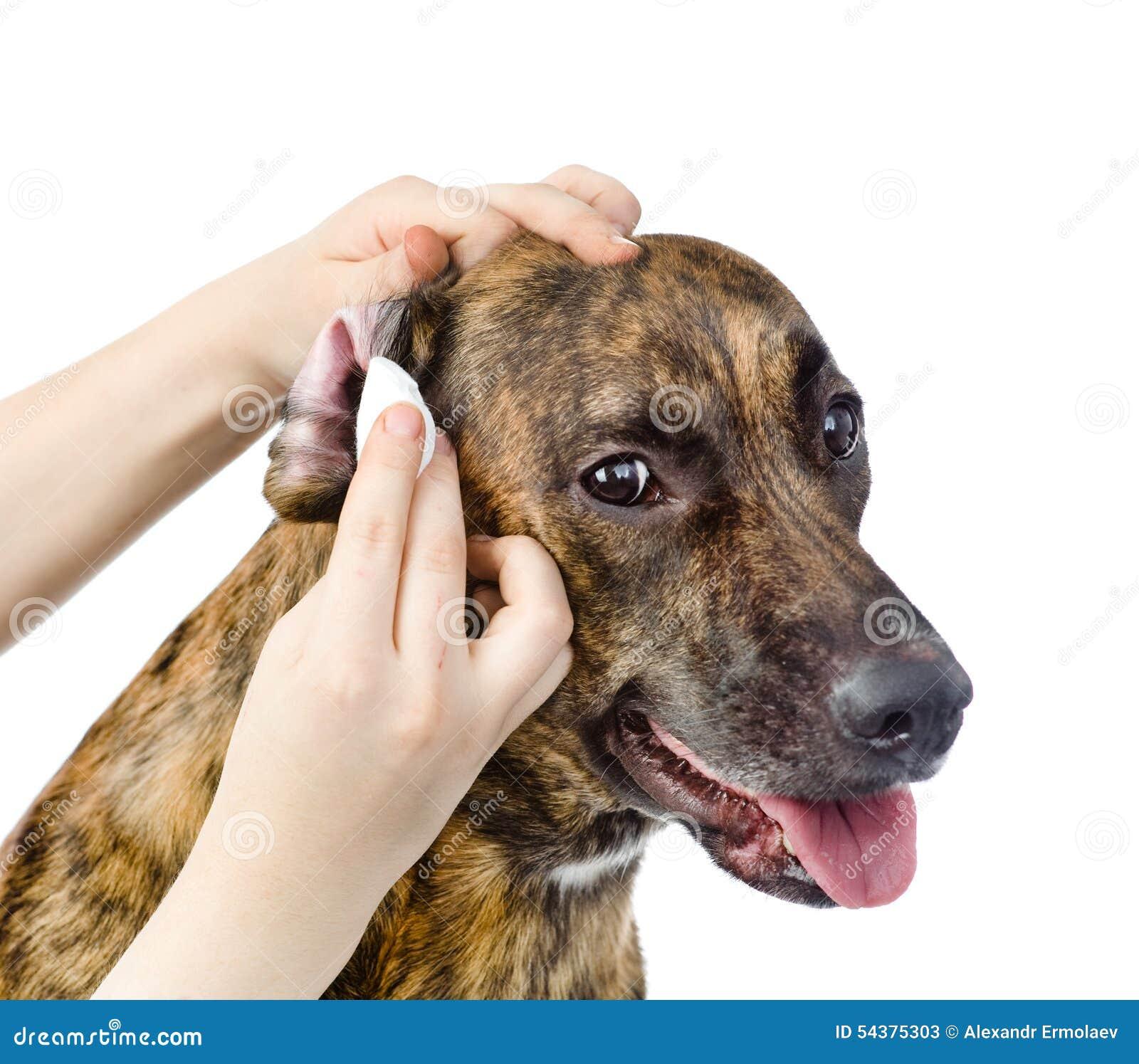 Как обрезать уши стаффорду в домашних условиях