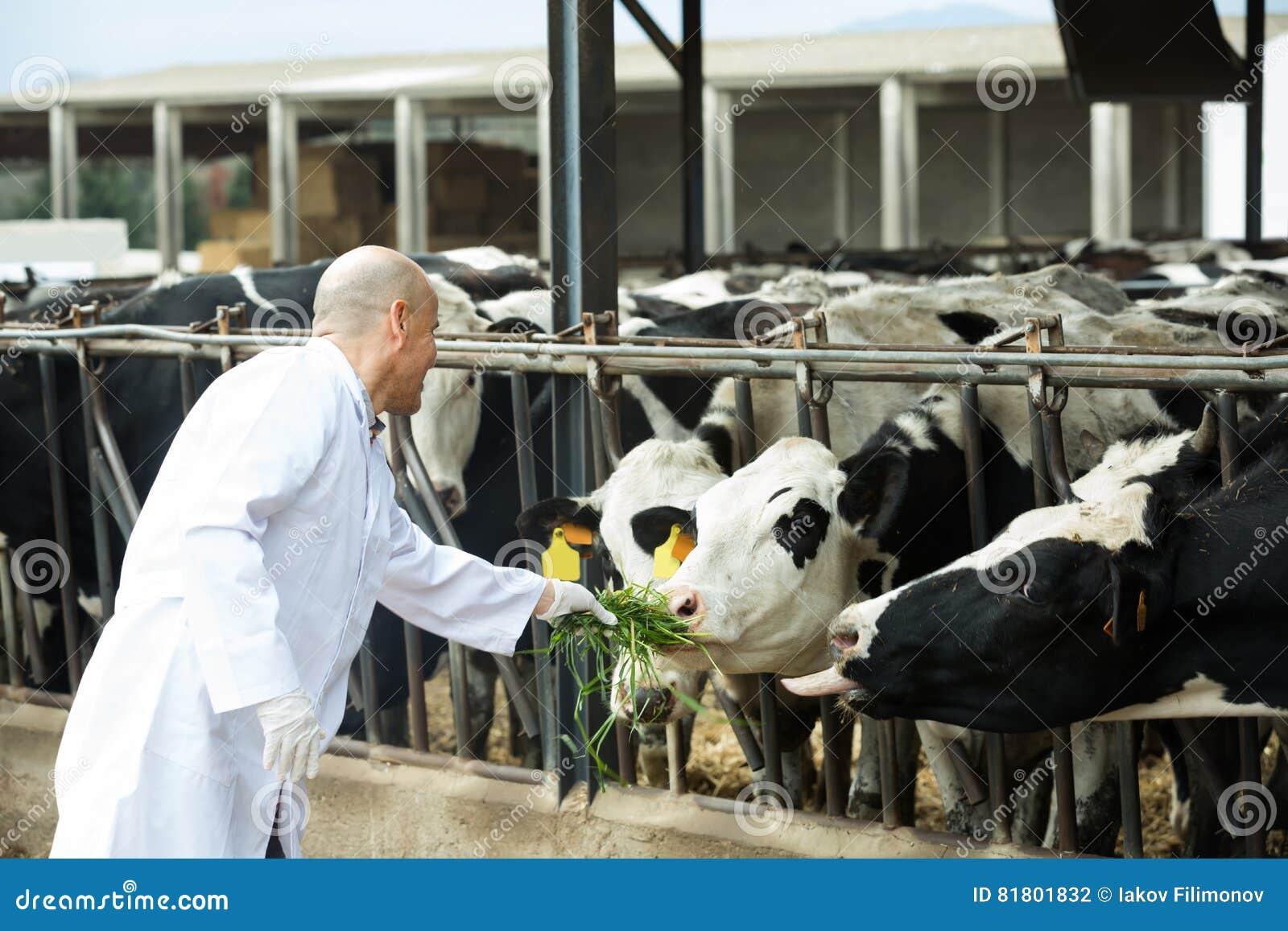 Ветеринар с коровами в ферме поголовья