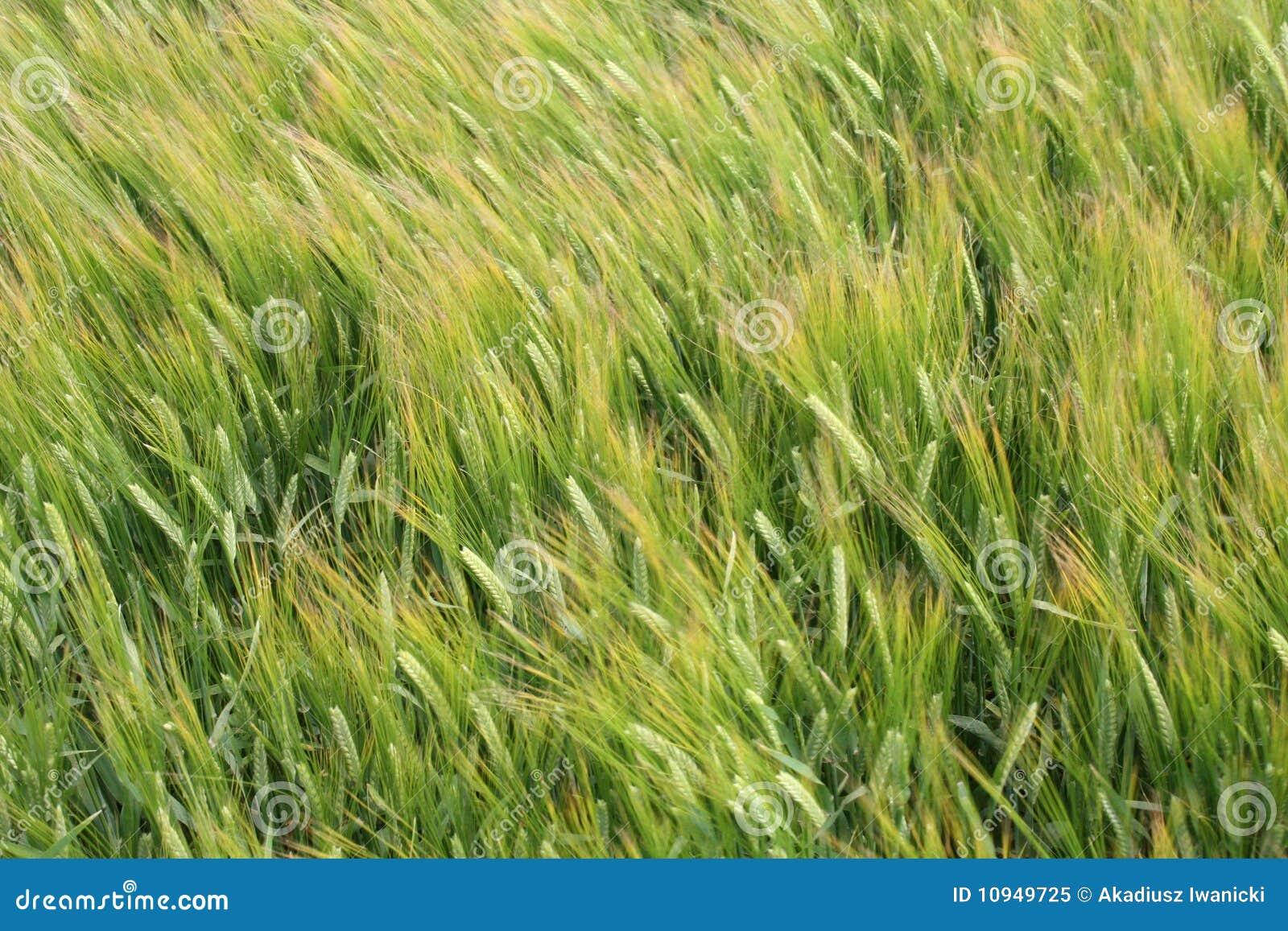 ветер рожи поля