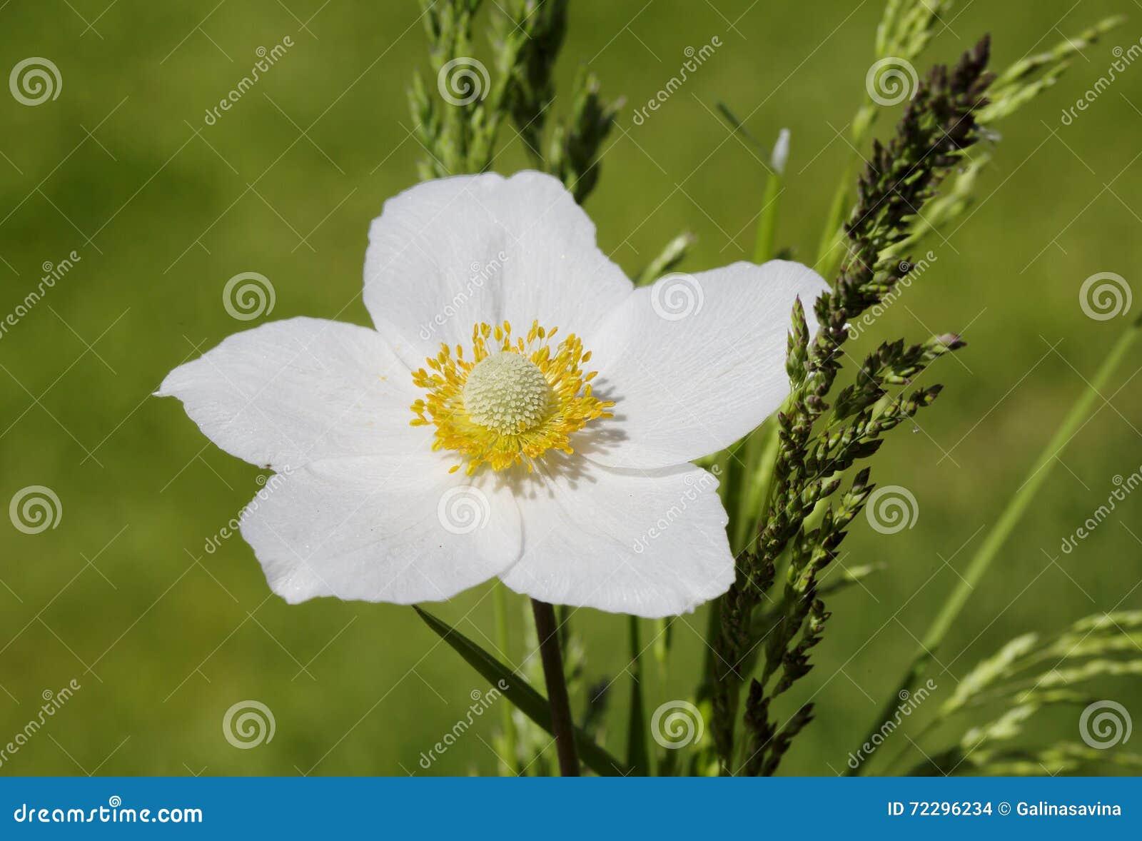 Download Ветреница цветка стоковое фото. изображение насчитывающей нежно - 72296234