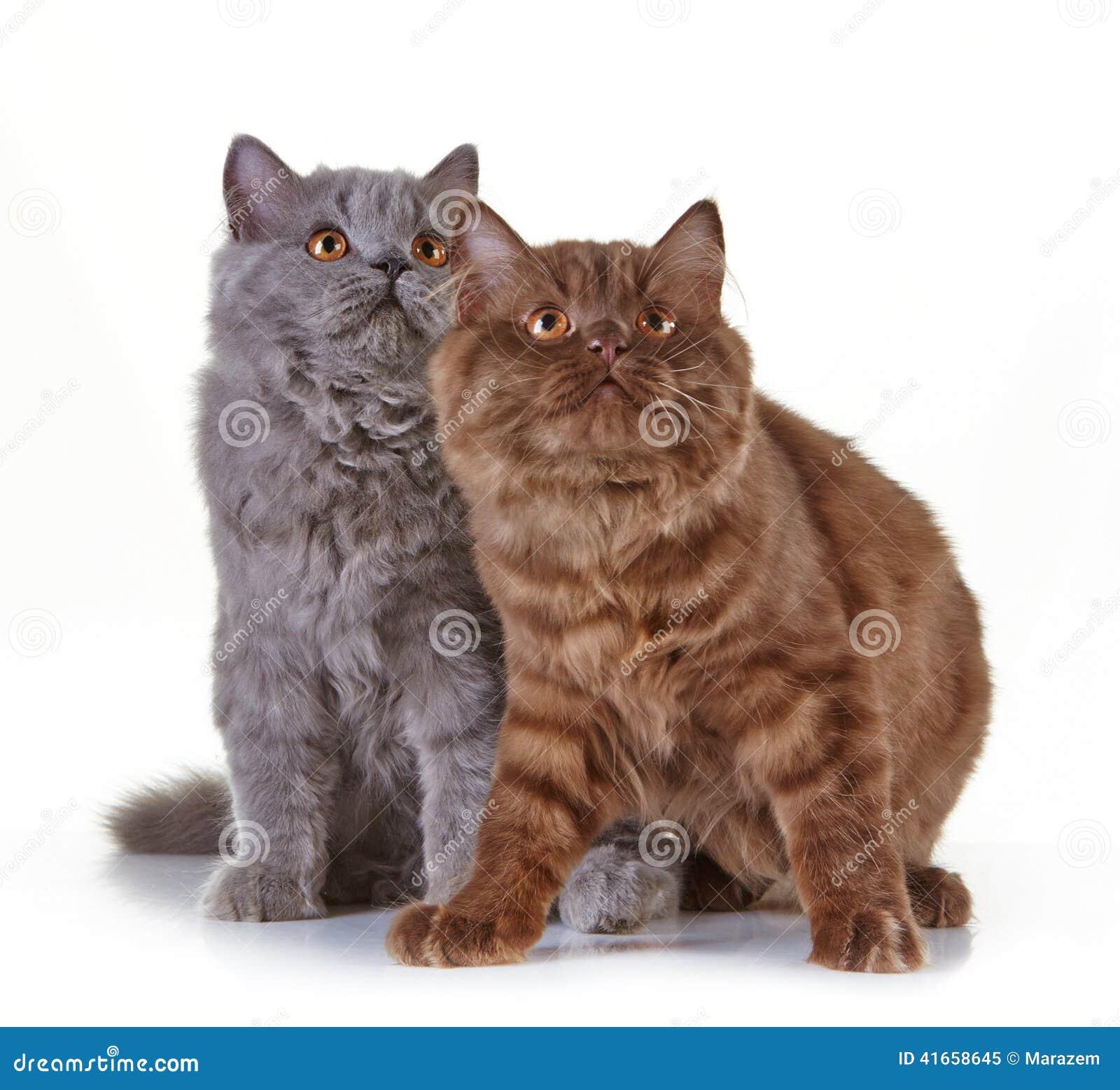 Великобританские длинные котята волос