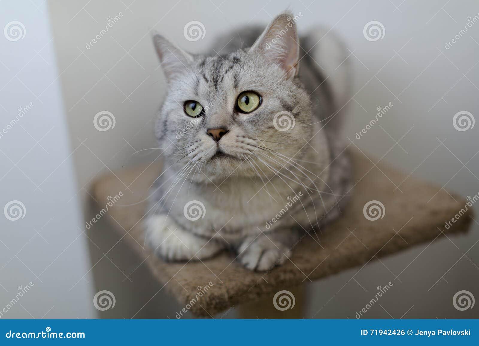 Великобританский кот Whiskas