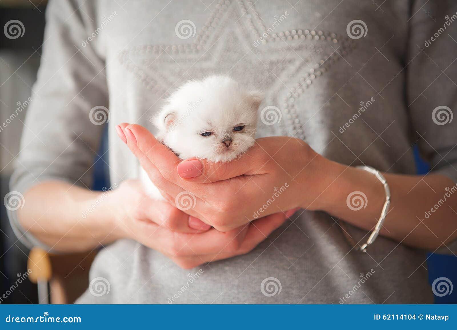 Великобританский чистоплеменный котенок