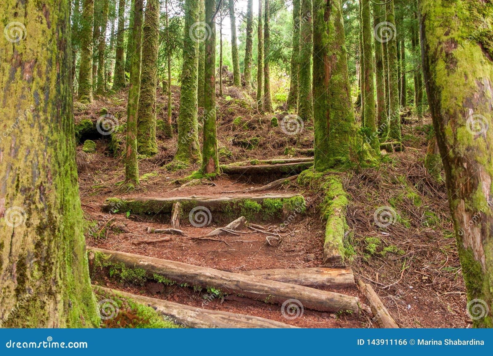 Взбираться лестницы в coniferous лесе