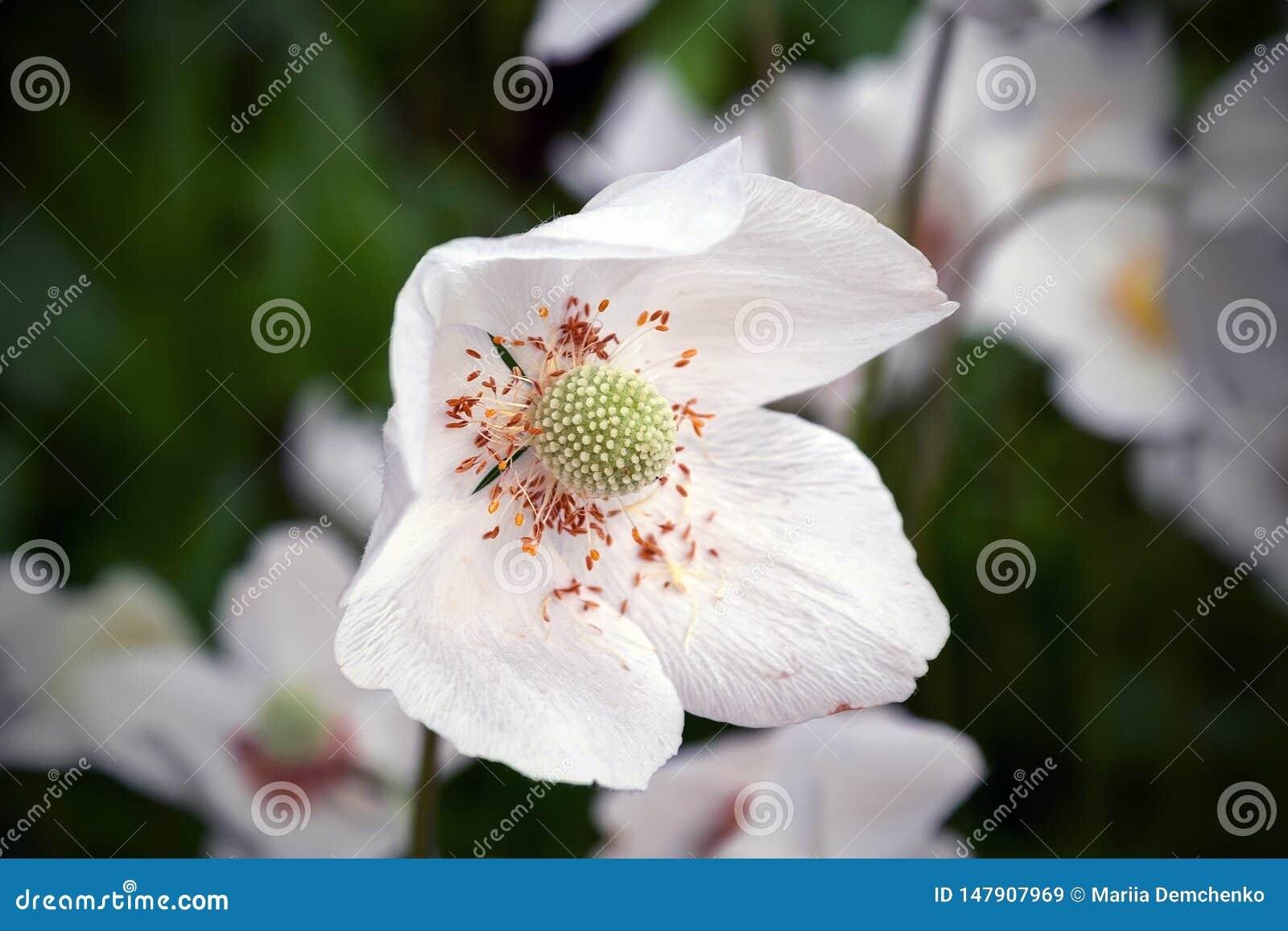 Взгляд крупного плана красивого белого цветка sylvestris ветреницы с политыми желтыми тычинками на запачканной темной предпосылке