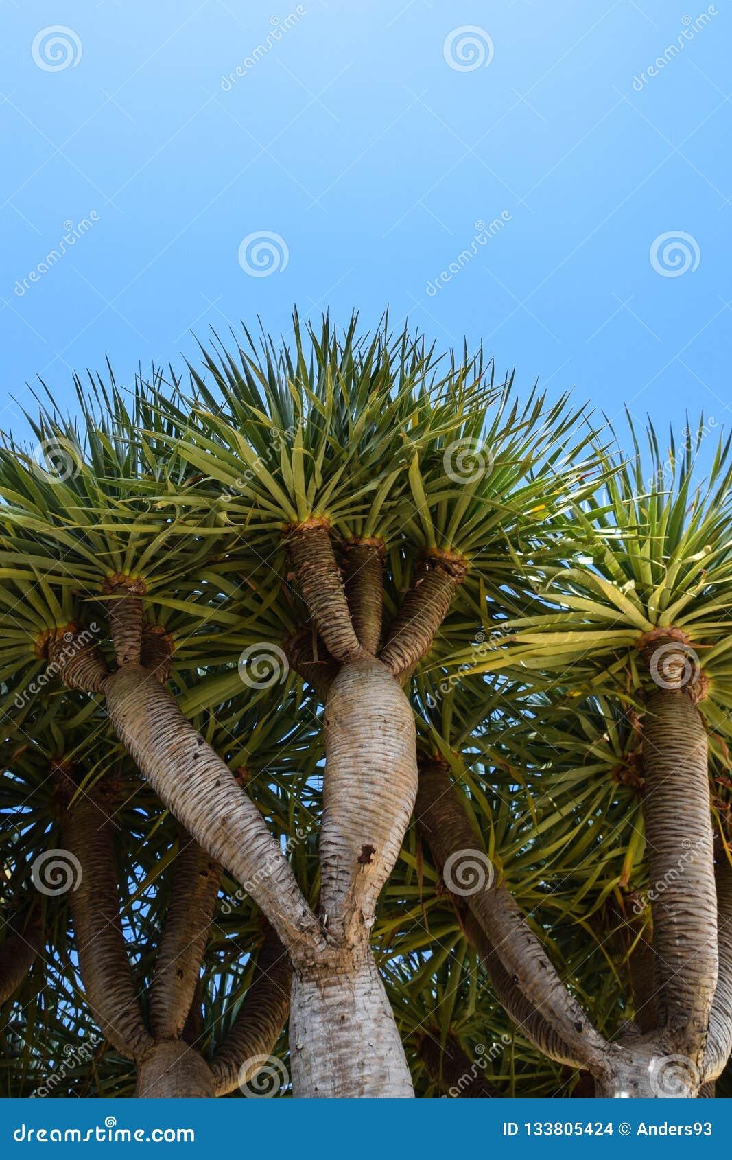 Взгляд низкого угла дерева дракона, Dragoeiro от Порту Santo, Мадейры также нашел в Кабо-Верде