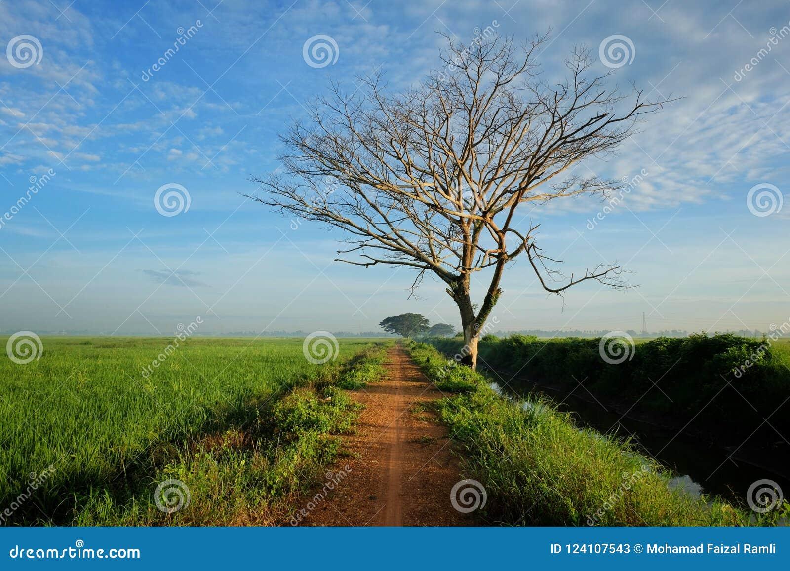 Взгляд перспективы рисовых полей малой дороги близрасположенных и мертвого дерева с драматическими облаками
