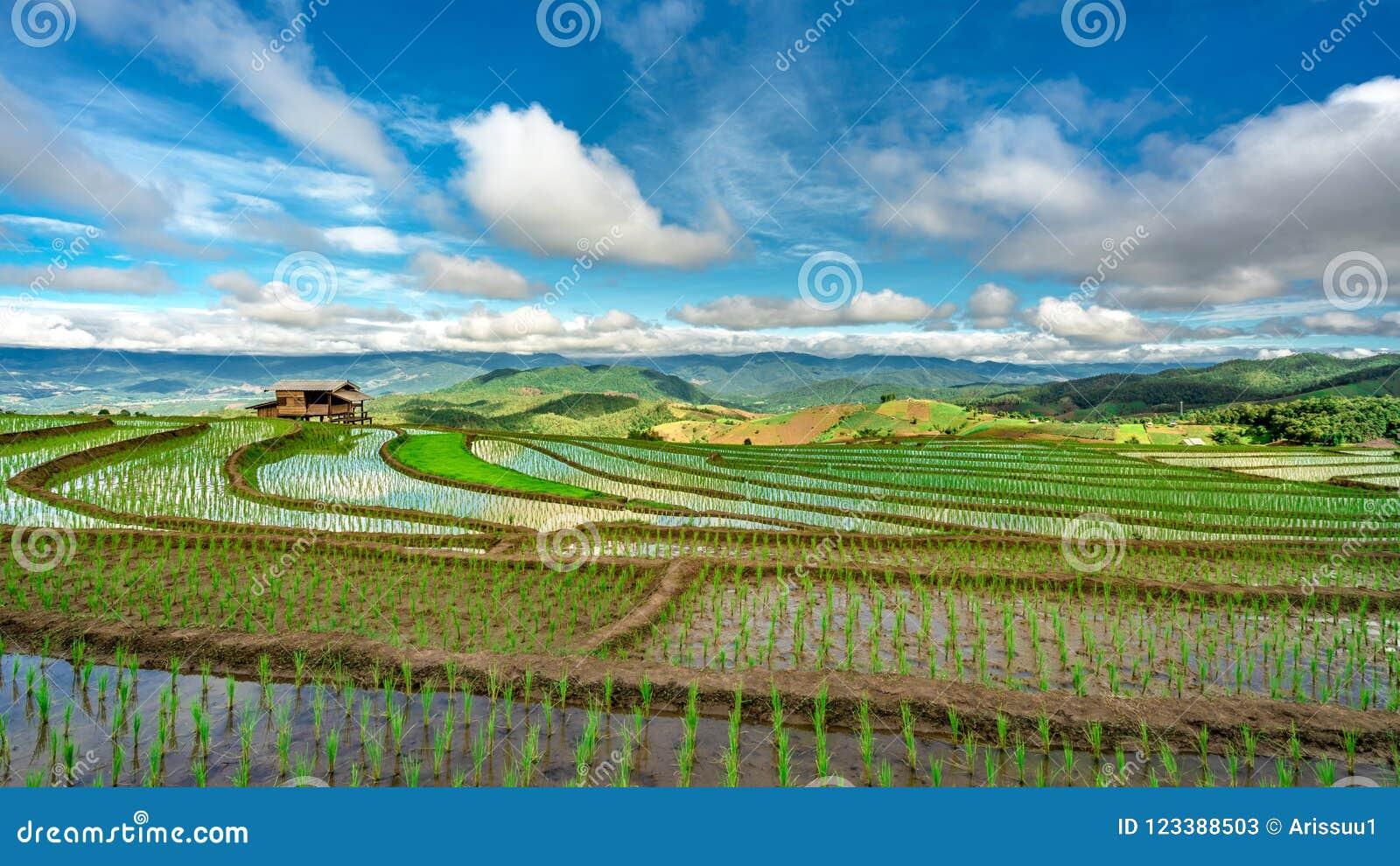 Взгляд поля риса коттеджа естественный