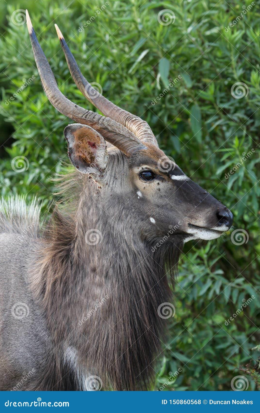 Взгляд профиля молодой мужской антилопы Nyala