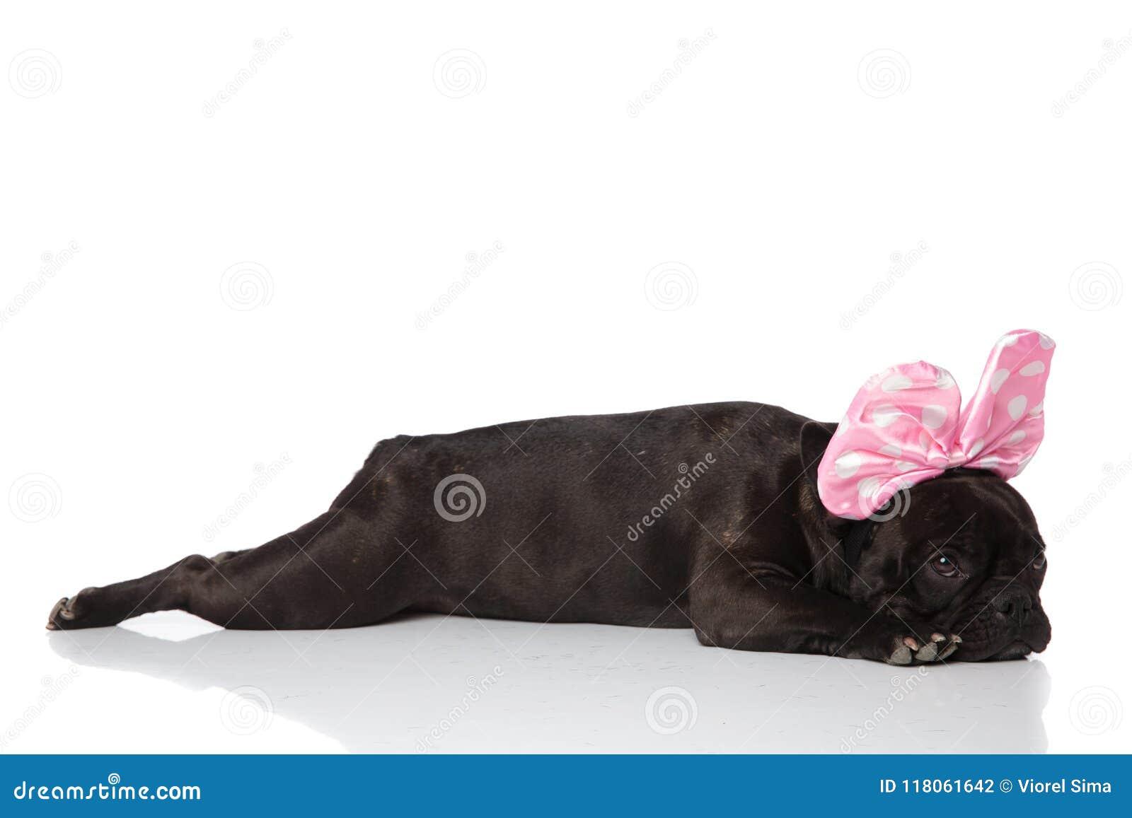 Взгляд со стороны лежа французского бульдога с розовой лентой