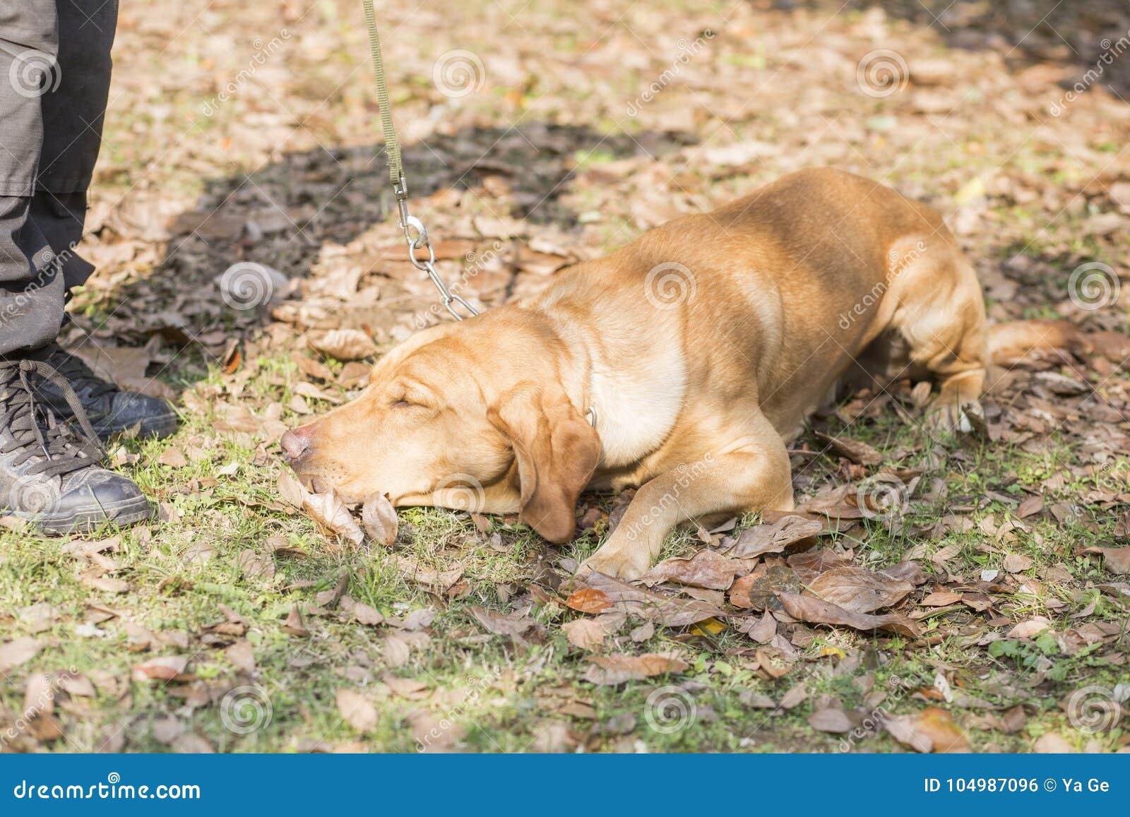 взгляд retriever задего щенка labrador собаки предпосылки серый