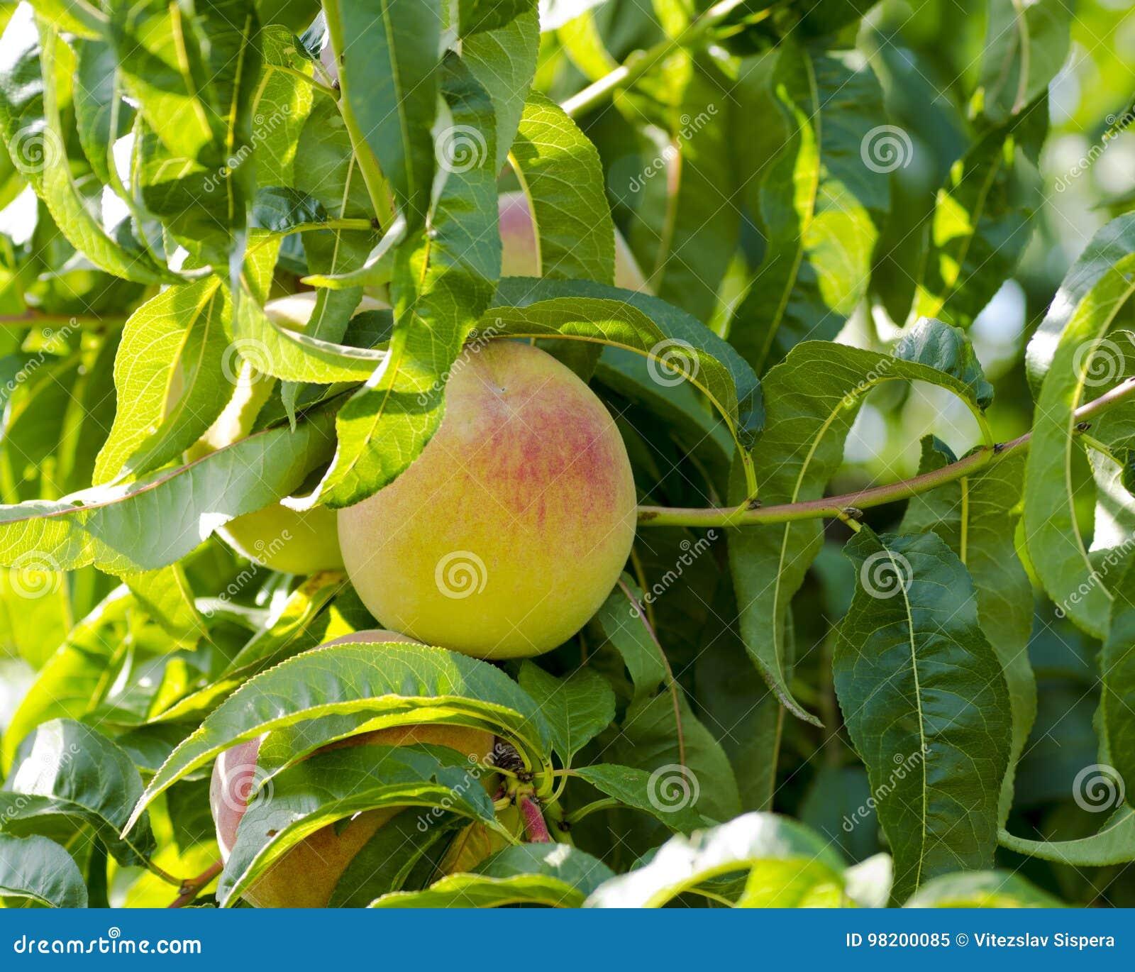 Download Взгляд конца-вверх персиков и на дереве на солнечный день Стоковое Изображение - изображение насчитывающей листья, природа: 98200085