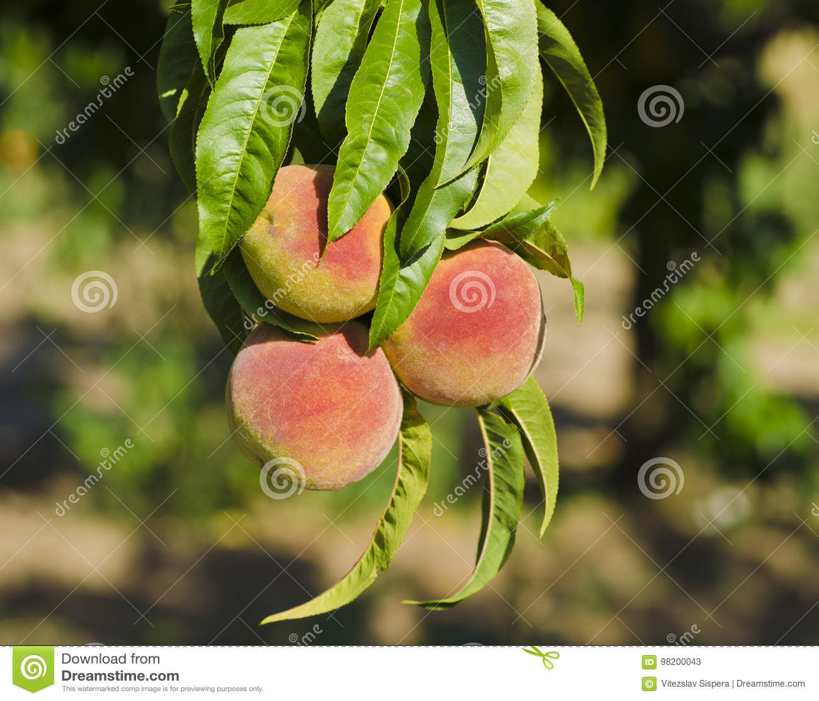 Download Взгляд конца-вверх персиков на запачканном дереве на солнечный день с Стоковое Изображение - изображение насчитывающей green, плодоовощ: 98200043