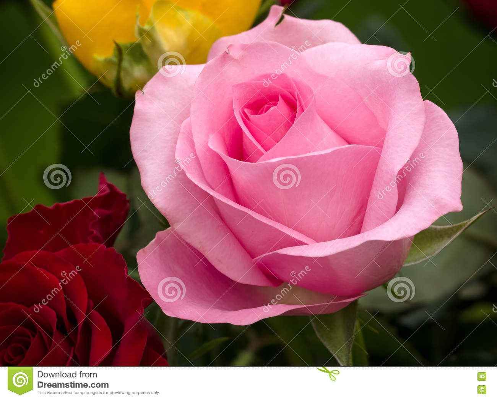 Взгляд конца-вверх розового гибрида t поднял