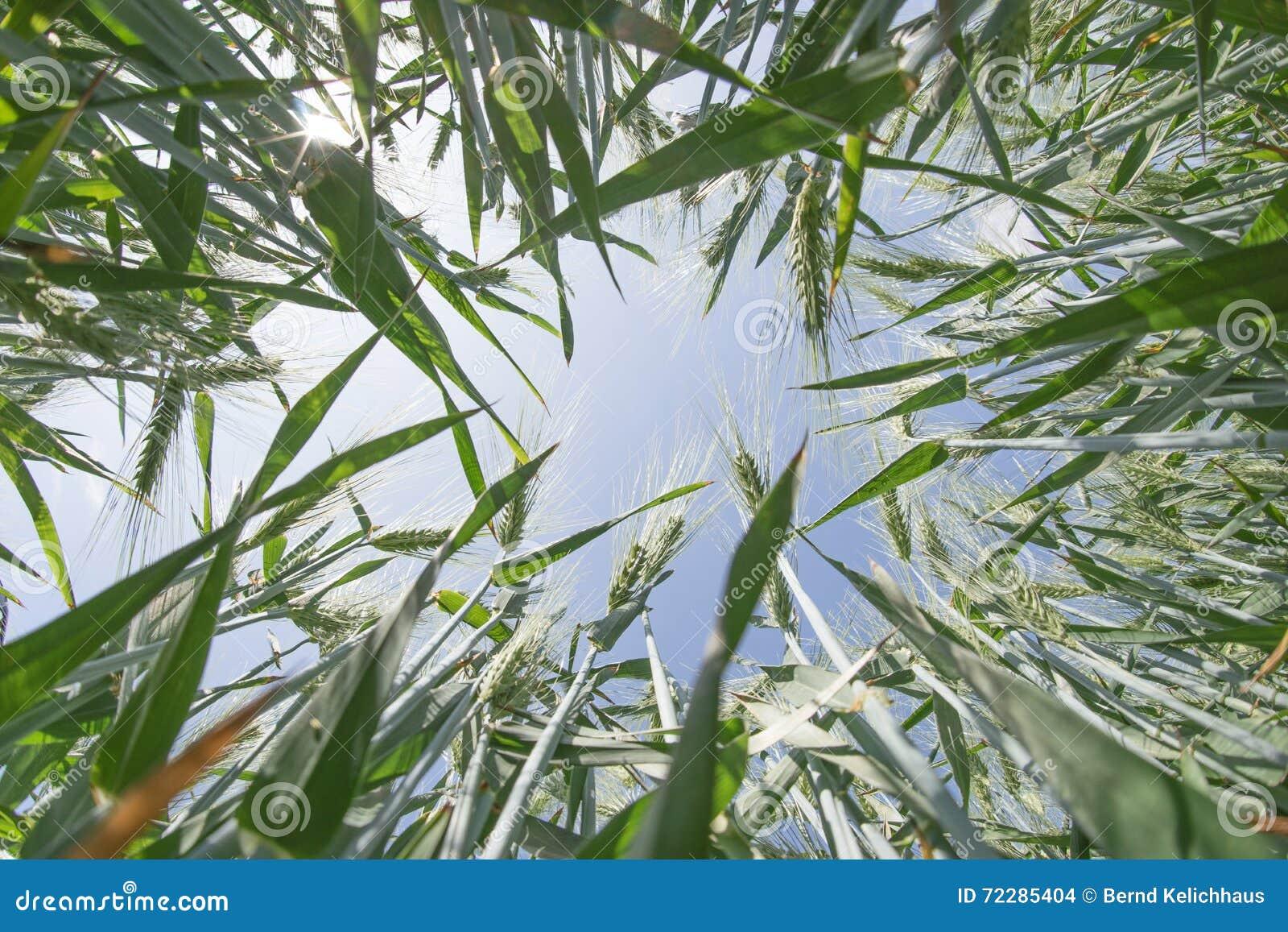 Download Взгляд низкого угла поля ячменя Стоковое Фото - изображение насчитывающей облако, напольно: 72285404