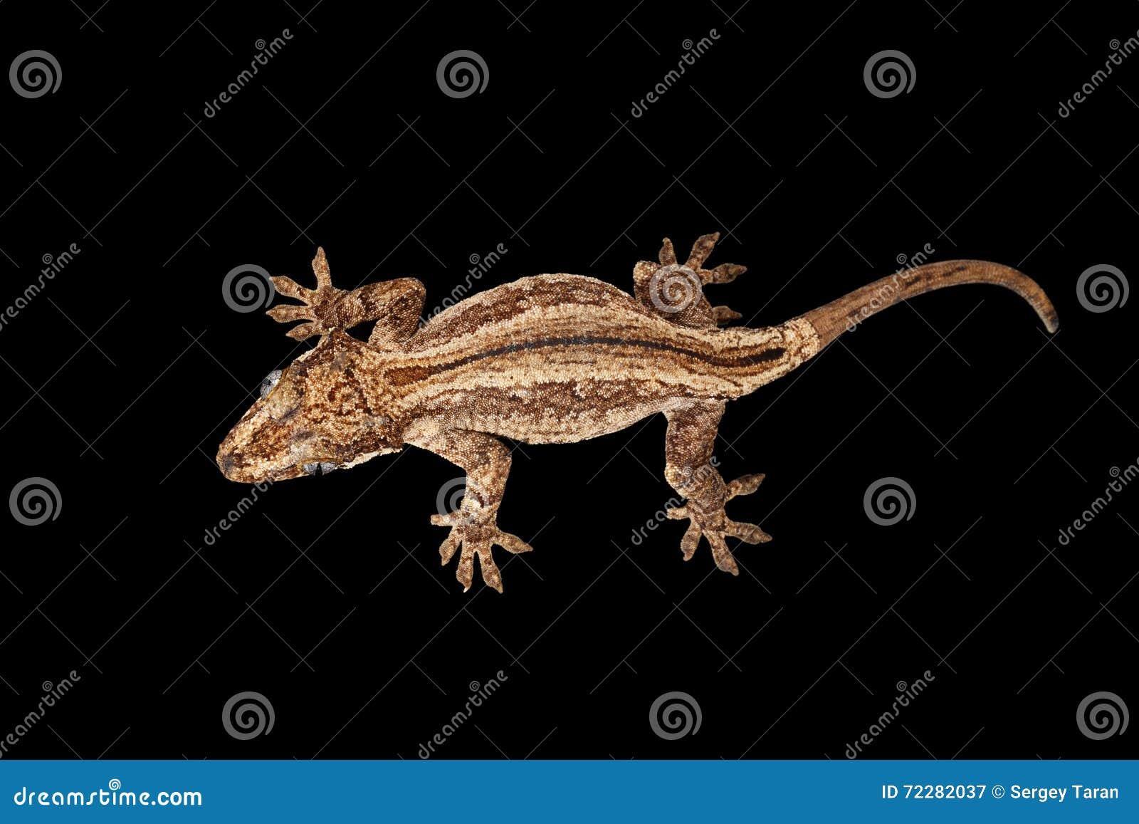 Download Взгляд сверху гекконовых горгульи, чернота вытаращиться Auriculatus Rhacodactylus Стоковое Изображение - изображение насчитывающей closeup, сторона: 72282037