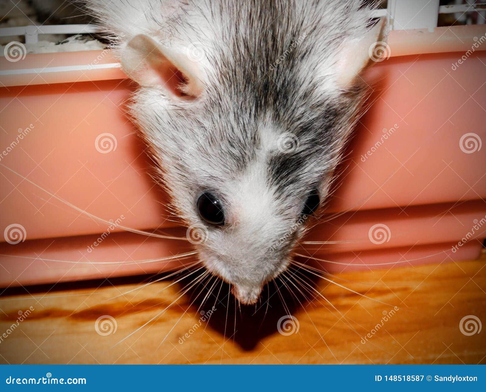 Взрослая женская крыса Dumbo