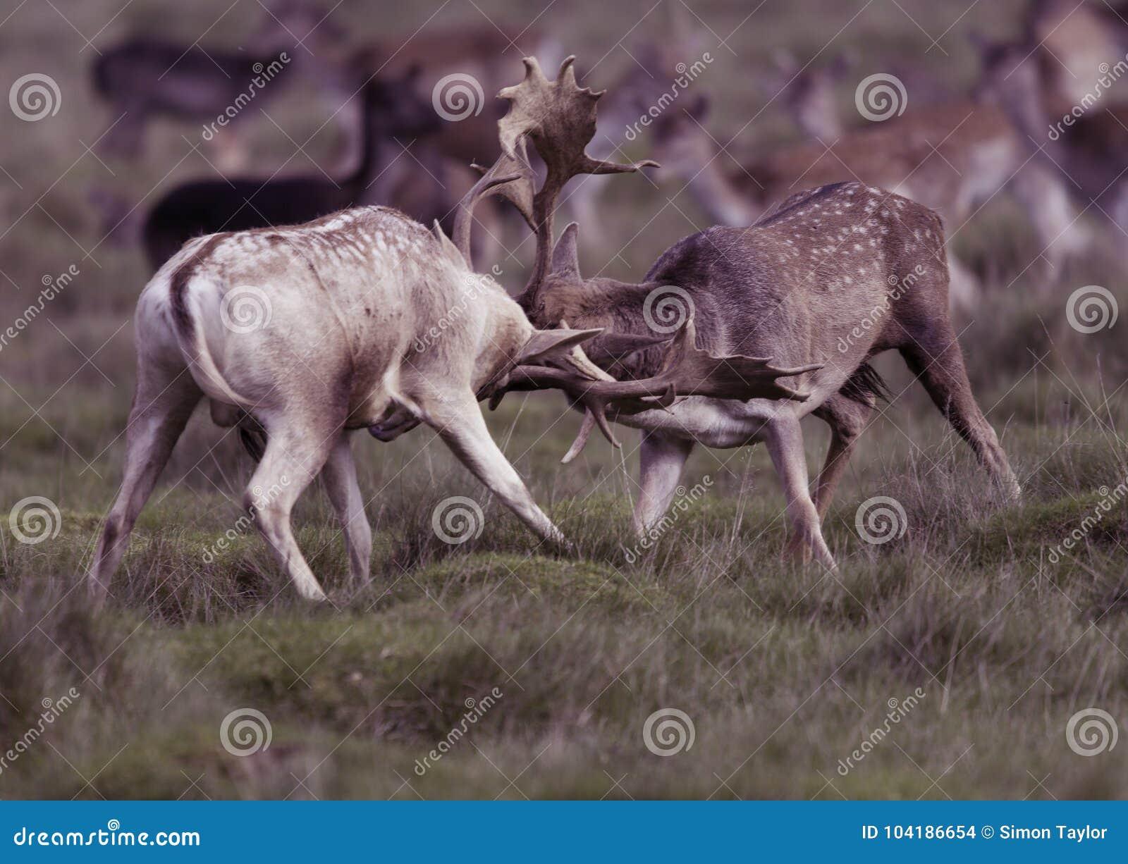 Взрослые олени - рогачи
