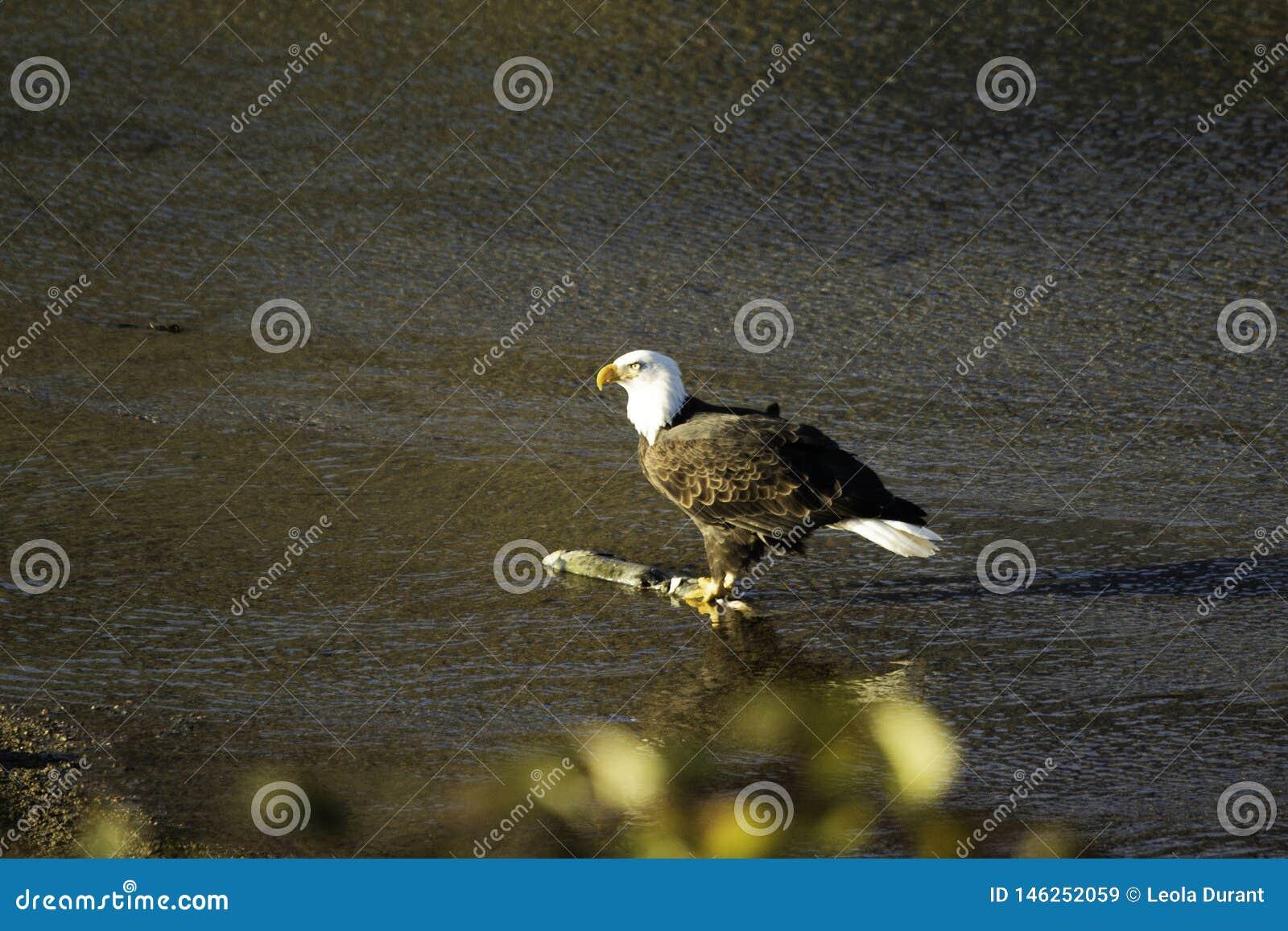 Взрослый орел в долине Fraser