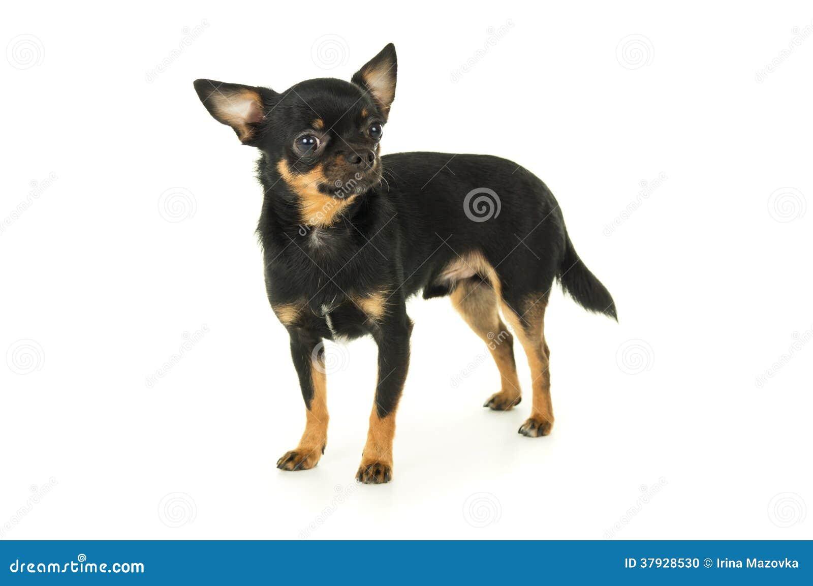 Взрослое изолированное положение собаки чихуахуа
