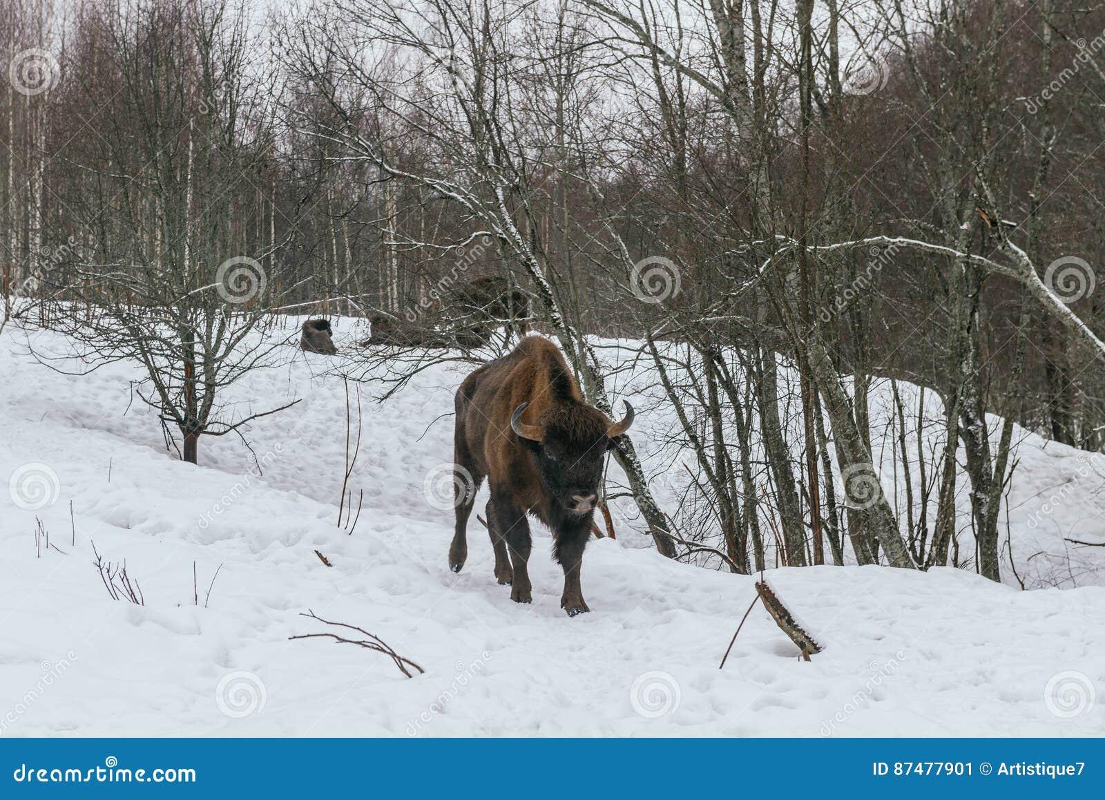Взрослый европейский бизон в национальном парке