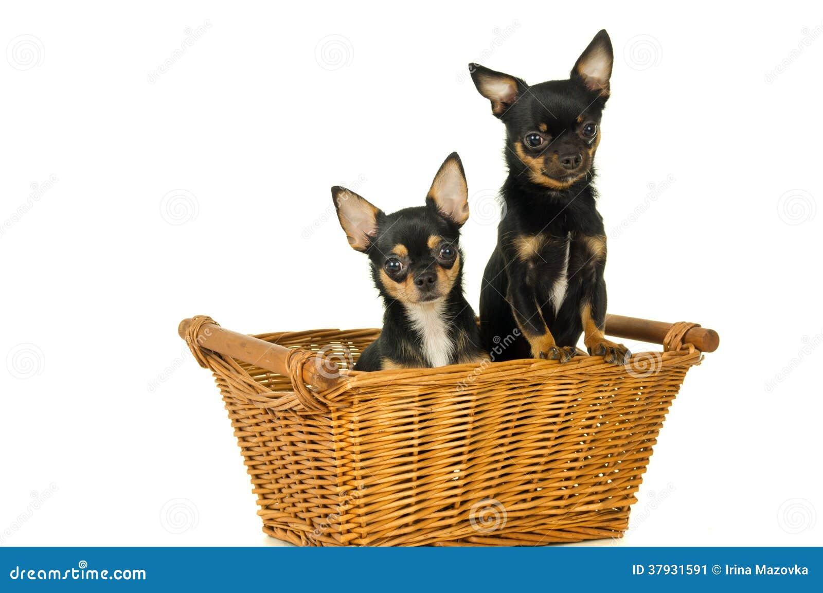 2 взрослых собаки