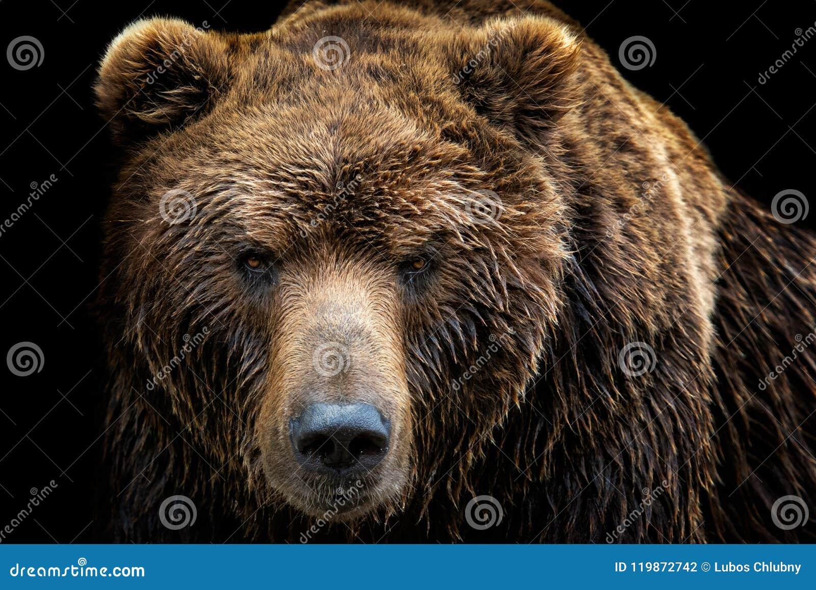 Вид спереди бурого медведя изолированное на черной предпосылке